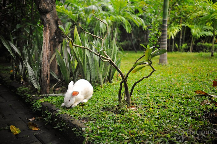 White rabbit in yard