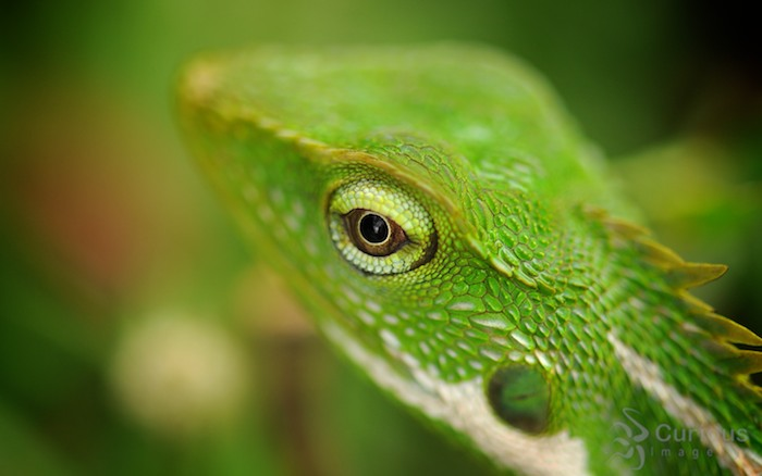 close up green lizard eye in puncak Indonesia