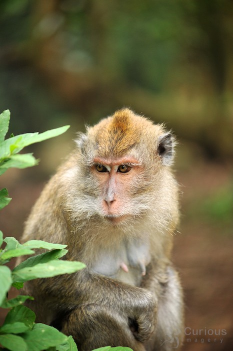wild monkey in Puncak Pass Indonesia
